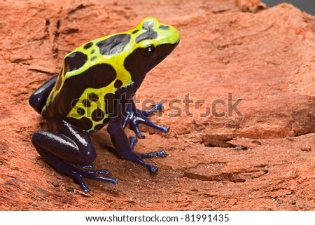tropical frog with bright colors. Poison dart frog dendrobates tinctorius. Beautiful amphibian of amazon rain forest. - stock photo