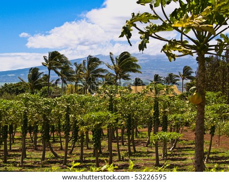 Tropical fruit orchard in Maui, Hawaii - stock photo