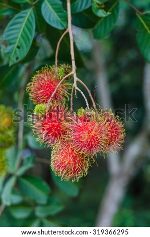 Tropical fruit, Rambutan on tree. - stock photo