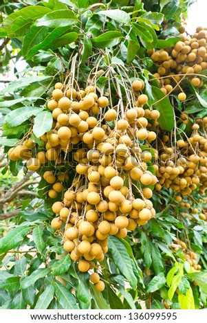 Tropical fruits longan on the tree - stock photo