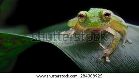 Tropical glass frog, exotic small amphibian from Amazon rain forest Hyalinobatrachium mondolfii Beautiful night animal - stock photo