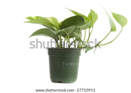Tropical house plant