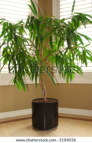 Tropical house plant in a pot and windows with blinds - stock photo