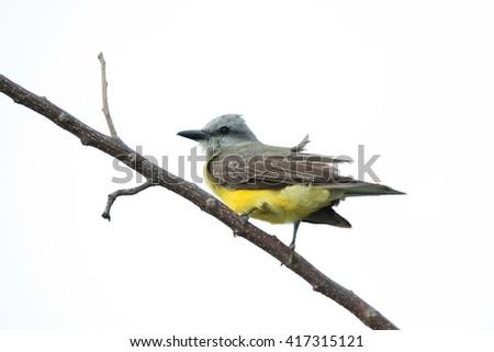 Tropical Kingbird (Tyrannus melancholicus) perched on a tree branch. - stock photo
