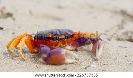 Tropical Land Crab in Costa Rica - Gecarcinus lateralis in Tamarindo, Guanacaste Province, Costa Rica - stock photo