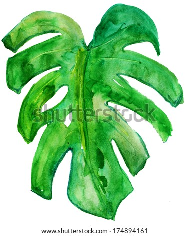 Tropical leaf of Monstera plant close up with water drops isolated on white. watercolor - stock photo