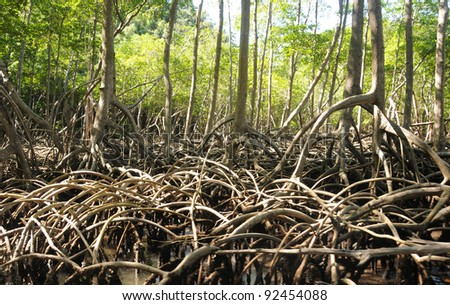 Tropical mangrove typical for Florida and Central America - stock photo