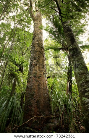Tropical New Zealand Kauri forest - stock photo