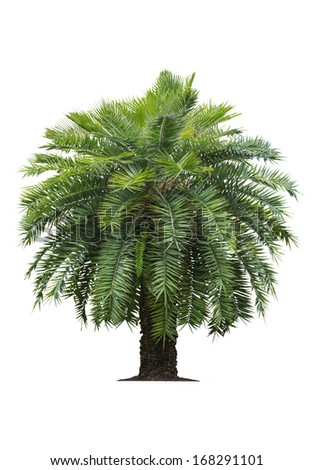 Tropical palm tree isolated on white background - stock photo