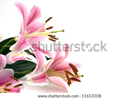Tropical pink lilly on white background - stock photo