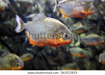 Tropical piranha fishes  in a natural environment