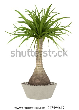 tropical plant in pot culture on white background,