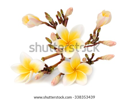 Tropical plumeria - stock photo