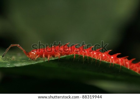 tropical red centipede on green leaf
