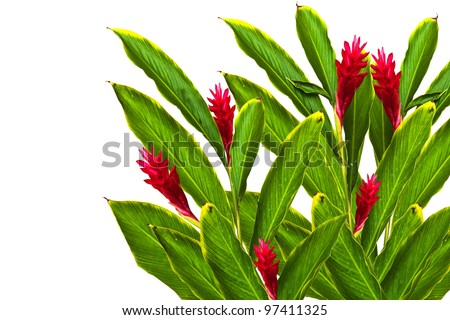 Tropical Red Ginger(Alpinia Purpurata) Flower.(This Image contain clipping path) - stock photo