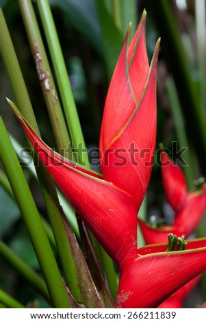 Tropical red heliconia flower in jungle of Costa Rica - stock photo