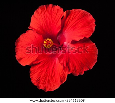 Tropical Red Hibiscus Flower on Black Background - stock photo