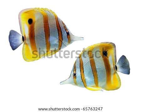 Tropical reef fish isolated on white background - stock photo