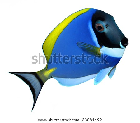 Tropical reef fish - Surgeonfish - Zebrasoma - isolated on white background - stock photo