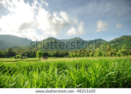 tropical rice field - stock photo
