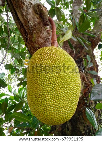 Tropical ripe Jack fruit on the Tree