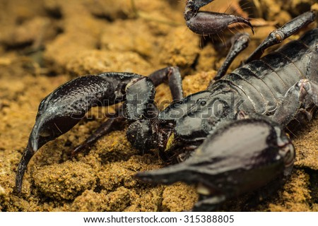 Tropical Scorpion in Thailand