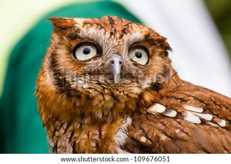 Tropical screech owl (Megascops choliba) - stock photo