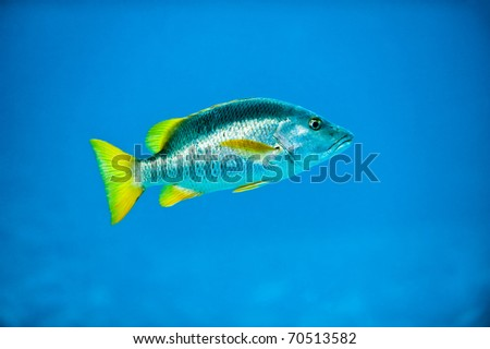 Tropical Silver Fish in Caribbean Reef Deep Blue Sea Water showing shiny scales and yellow fins - stock photo