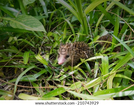 Tropical small hedgehog in the green grass - stock photo