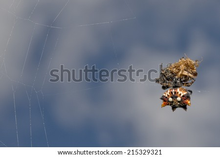 tropical spider with its prey on sky background - stock photo