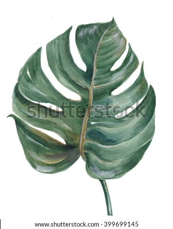 tropical Split Leaf Philodendron plant botanic watercolor painting on white background - stock photo