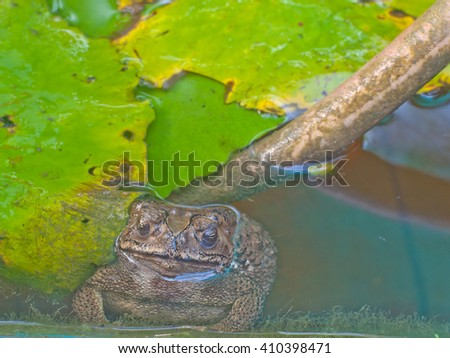 tropical toad or frog in the pond with lotus leave - stock photo