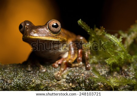 tropical tree frog Hypsiboas geograficus from the Amazon rain forest with beautiful eyes - stock photo