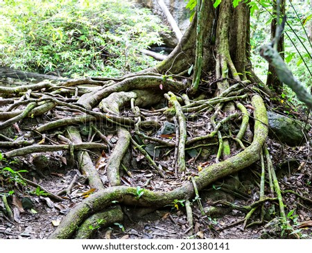 Tropical tree roots - stock photo
