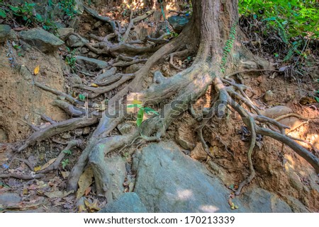 Tropical tree roots in the forest - stock photo