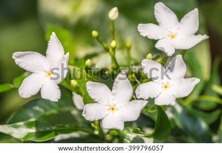 Tropical White Flower Sampaguita Jasmine Natural Stock Photo (Safe ...