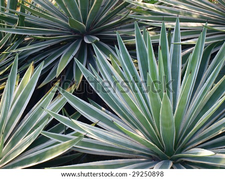 yucca plant stock images royalty free images vectors shutterstock. Black Bedroom Furniture Sets. Home Design Ideas