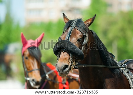 trotters heads on racetrack before start - stock photo