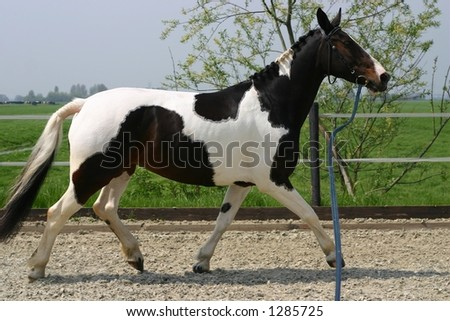 Trotting horse on a line - stock photo