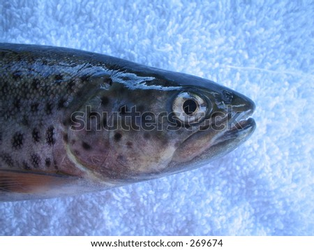 Trout - stock photo