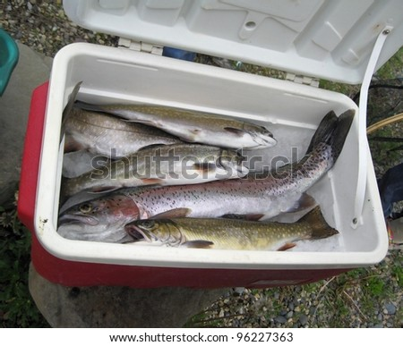 Trout fish - stock photo