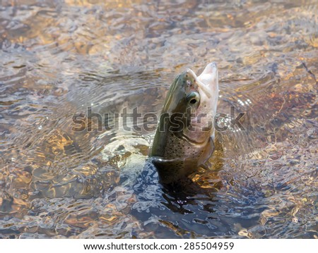 Trout fishing out of water - stock photo
