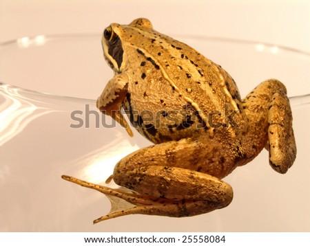 True frog (Rana) sitting on tall wineglass - stock photo