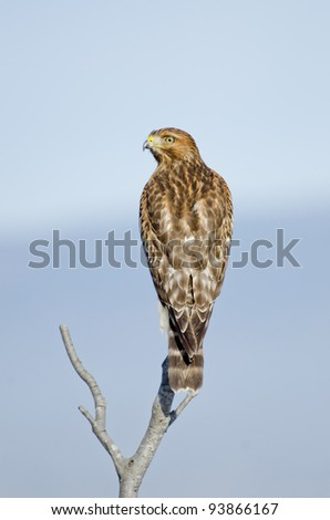 True wildlife, Buteo lineatus, a red shouldered hawk looks over his shoulder at Arcata Bay in Humboldt County, California in winter. Nice natural isolation against a blue sky. - stock photo