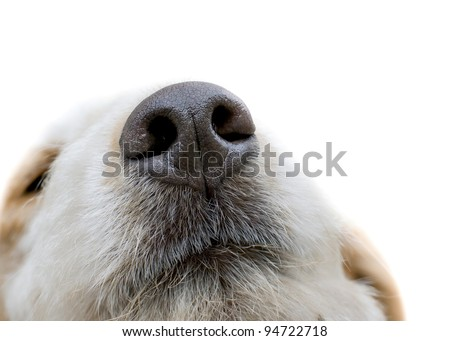 truffle dog sniffing the screen isolated on white - stock photo