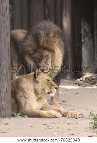 Truly the King of Beasts, this adult male lion is a magnificent sight and yet this beast has a softer side as he shows his softer side with his lioness partner. - stock photo