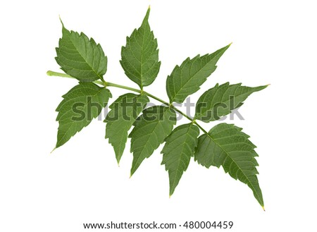 Trumpet creeper leaf closeup isolated on white