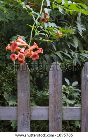 Trumpet Vine and Picket Fence - stock photo