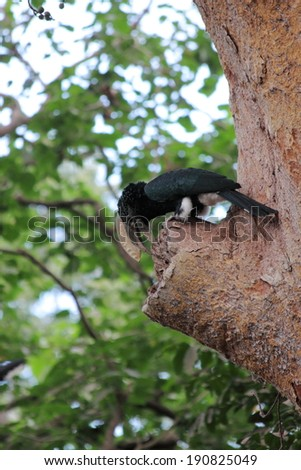 trumpeter hornbill looking for nesting wood - stock photo