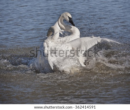 Trumpeter Swan Fighting